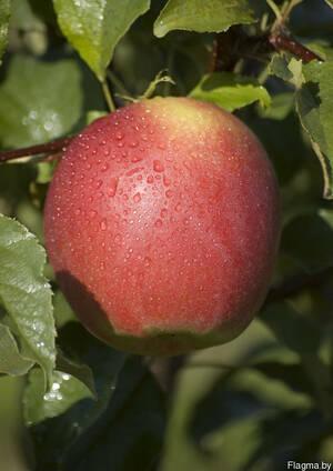 Саженцы яблони Лигол