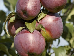 Саженцы яблони сорт Имант