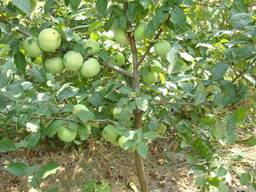 Саженцы яблони сорт Надейны