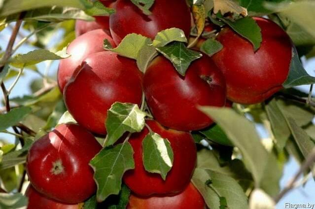 Саженцы яблони Сорт Поспех