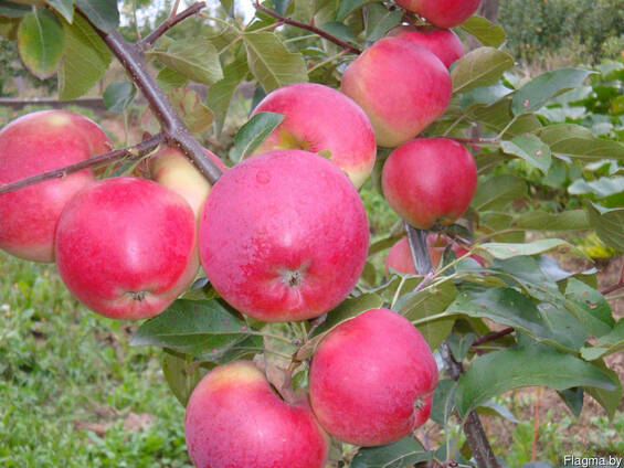 Саженцы яблони Сябрына