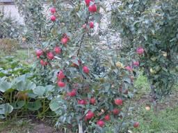 Саженцы яблони Сябрына - фото 2