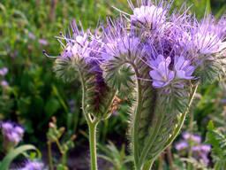 Семена Фацелии , сорт Медуница