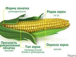 Семена гибрида кукурузы Изяслав 220 МВ