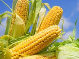 """Семена гибрида кукурузы """"Пирро"""" Фао 200 (Saatbau, Австрия)"""