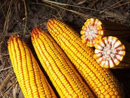 Семена гибрида кукурузы