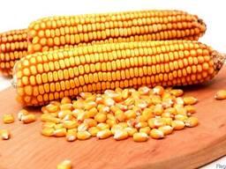 Семена гибридов кукурузы краснодарский 194 росс 199