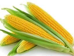 Семена кукурузы (гибриды MTI195MRf, MTI230)