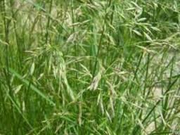 Семена овсяницы тростниковой