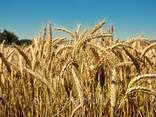 """Семена озимой пшеницы """"Балитус""""(Saatbau. Австрия) - фото 1"""