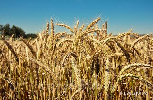 """Семена озимой пшеницы """"Балитус""""(Saatbau. Австрия)"""