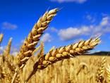 """Семена озимой пшеницы """"Патрас"""" - фото 1"""