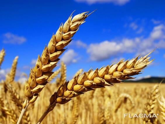 """Семена озимой пшеницы """"Патрас"""""""