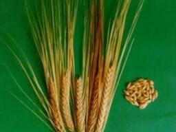 Семена озимые