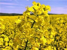 Семена озимых зерновых культур, рапса.