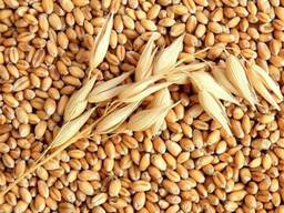 "Семена пшеницы , сорт ""Дарья"", с/элита"