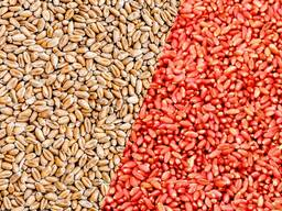Семена пшеницы ячменя овса