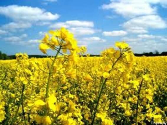 Семена рапса озимого отечественной и европейской селекции