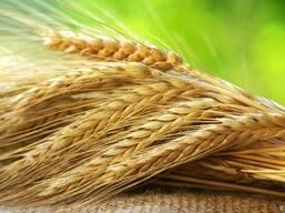 Семена. Рожь озимая, гибрид немецкой селекции