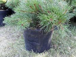 Сосна горная Мугус (Pinus mugo Mughus) С2