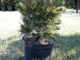 Сосна горная Винтер Голд (Pinus mugo Winter gold)