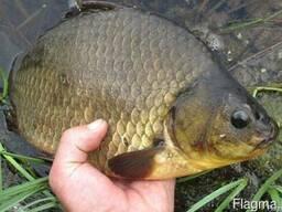 Свежую рыбу(карп,карась,линь,щука,судак)