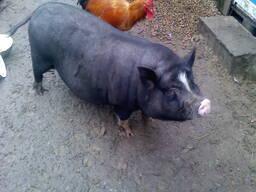 Свиньи домашние живым весом