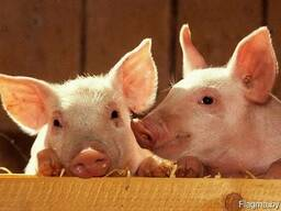 Свинина живым / убойным весом. В наличии!