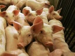 Свинина живым весом