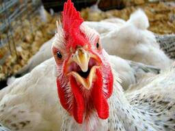 Тушка цыпленка-бройлера 1/2 сорт