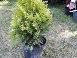 Туя западная Еллоу Риббон (Thuja occidentalis Yellow. ..