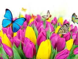 Тюльпаны к 14 февраля и 8 марта.