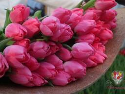 Тюльпаны оптом от производителя ЯнТюльпан. бел