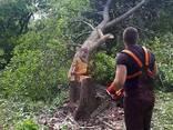 Валка деревьев - фото 1