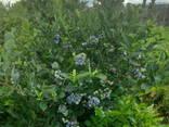 Взрослые кусты голубики высокорослой от 1,2 до 1,5 м - фото 2