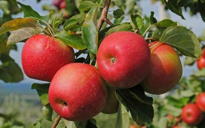 Яблоки Рб