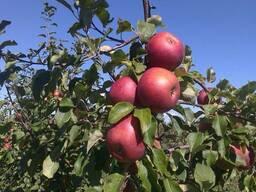 Яблоко товарное
