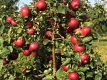 Яблоко товарное - photo 2