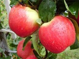 Яблоки оптом. Женева