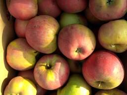 Яблоко 2 сорта