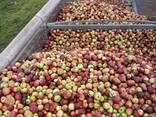 Яблоко для переработки, промпереработки(опад) оптом. - фото 6
