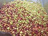 Яблоко для переработки, промпереработки(опад) оптом. - фото 14