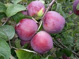 Яблоко, груша, арония(рябина черноплодная)