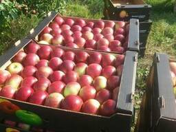 Яблоко оптом из Беларуси от производителя