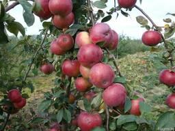 Яблоня Белорусское сладкое - фото 1