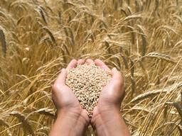 Закупаем зерновые культуры, зернобобовые, новый урожай!