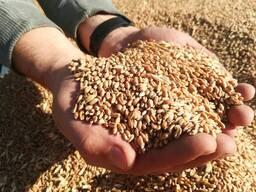 Зерно Кукуруза, Ячмень, Пшеница, Овес, РАПС урожай 2021