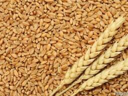 Закупаем пшеницу, кукурузу, овес, тритикале 2021