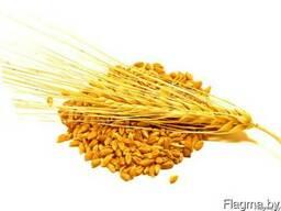 Ячмень фуражный зерно