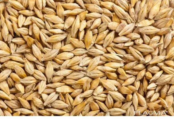 Ячмень, рожь, пшеницу, кукурузу.